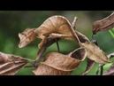 Фантастический листохвостый геккон или сатанинский геккон