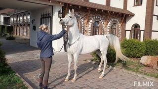 Арабские лошади прямой Египетской линии в России/Straight Egyptian/arabian horses
