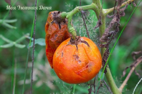 Народные методы борьбы с фитофторозом помидор До середины лета фитофтора затаилась, наши томаты растут и хорошеют на радость глазам и сердцу. Но расслабляться нельзя ни в коем случае редко какой