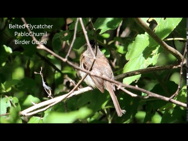 Belted flycatcher / Коричневогрудый мухоед / Xenotriccus callizonus