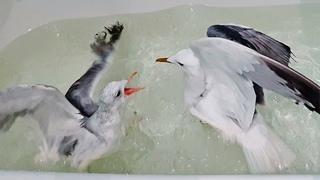 Чайки Ричард и Чуи в ванной. Так себе купание