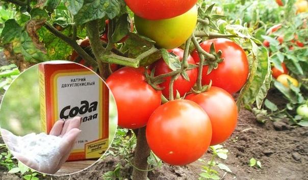 Чем полезна обычная пищевая сода для сада и огорода