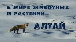 Алтай 2020. Сайлюгемский национальный парк. Дикие животные России (Неизвестная Сибирь) Птицы Алтая