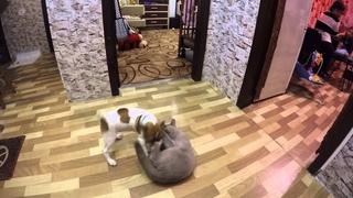 Джек Рассел терьер Джеки VS британской кошки Сони
