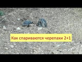Как спариваются черепахи. Два самца и одна самка. How turtles mate. Two males and one femal .