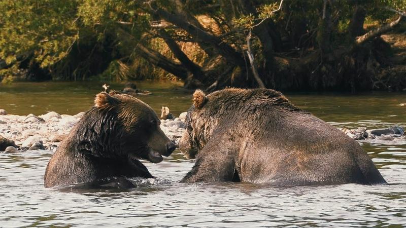 Мир Приключений Медведи в дикой природе 4К Курильское озеро Камчатка Wild bears of Kamchatka