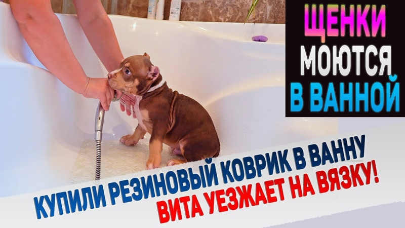 Как помыть щенка или собаку Английский Бульдог Вита уезжает на вязку Щенки уезжают в новые дома