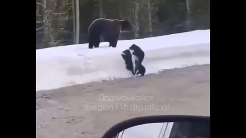 Медведица с медвежатами в Башкирии