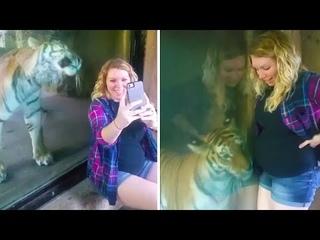 Реакция этого тигра на беременную женщину невероятна!