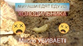 ЭКСПЕРИМЕНТ №3 Реакция муравьев МЕССОРОВ на еду из холодильника масло, сыр, горчица и лук