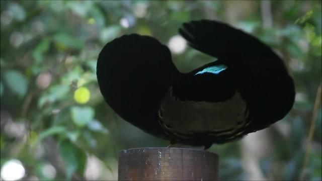 Victoria's Riflebird - Bird of Paradise - i'm a bird