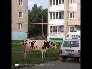 Верхний Уфалей: стадо коров напало на жителей