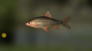 Спинибарбус зеленый чжуцзянский Осима, в игре, Трофейная рыбалка 2