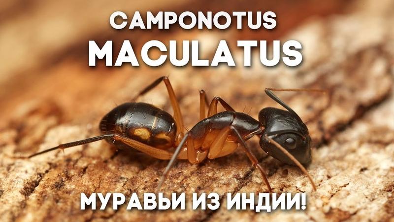 МОИ МУРАВЬИ ИЗ ИНДИИ РАСТУТ Camponotus maculatus как поживает колония в большой муравьиной ферме