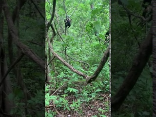 White-faced capuchin monkeys rescue a juvenile from a Boa constrictor