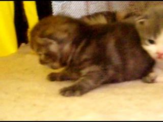 шотландские котятки 16 дней