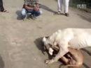 Собачьи бои гуль донг VS питбуль 4