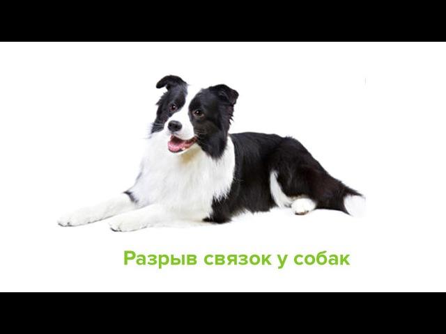 Разрыв связок у собак