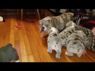 Собака мама играет со своими щенками / Смешные щенки и милые щенки Видео Компиляция
