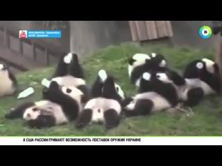 Голодные панды покорили интернет