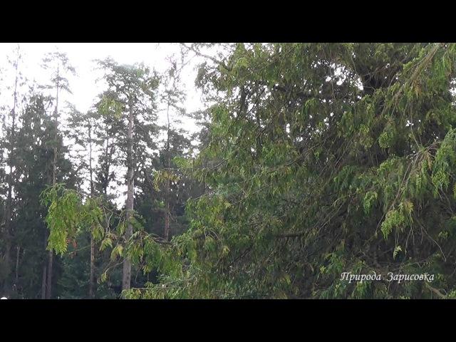 🍂 В сосновом бору со Звуками леса ~ Живой лес с Пением птиц и красивая Природа для Релакса