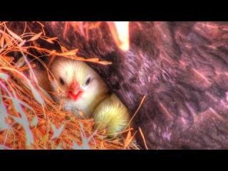 Blackie The Hen's Eggs Hatch - New Baby Chicks   Homestead Kids