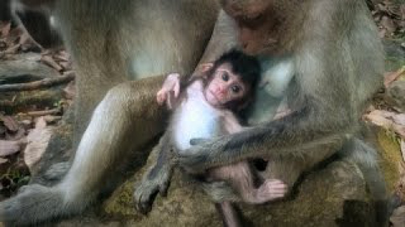 Monkey wildlife 32, Cute baby monkey with mom » FreeWka - Смотреть онлайн в хорошем качестве