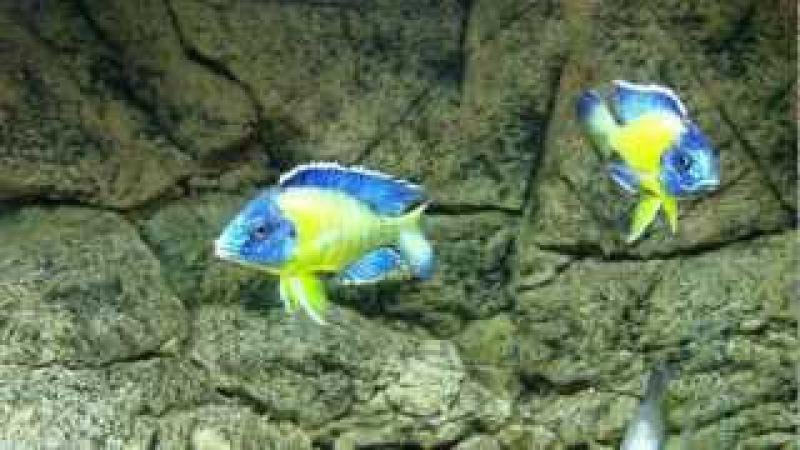 Aulonocara stuartgranti blue neon Undu reef males fight - PISCES