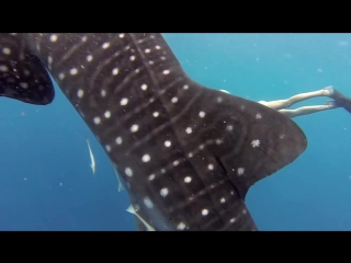 GoPro Awards- Ocean Ramsey and a Whale Shark