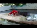Смертельный номер с крокодилом (18 )