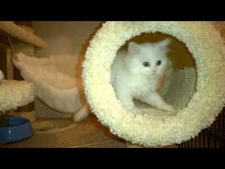 Шотландский котенок Квентин (продается)