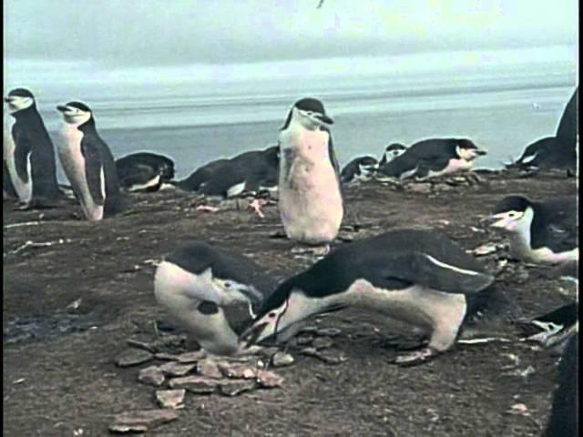 27 1974 Кусто в Антарктике Часть II Полет пингвинов Подводная одиссея команды Кусто