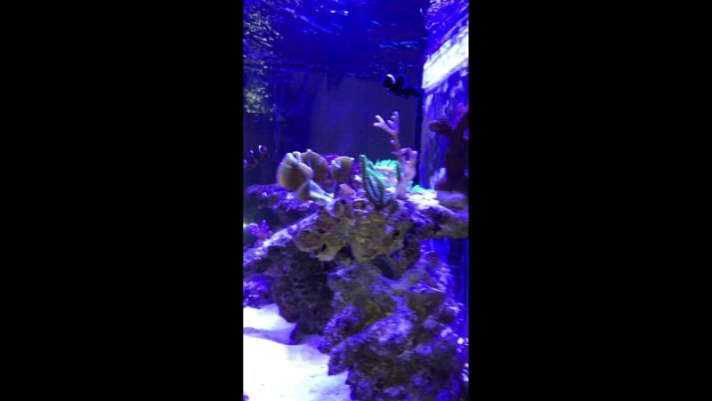 Рыба Апогон тюлевый и рыбы Клоуны