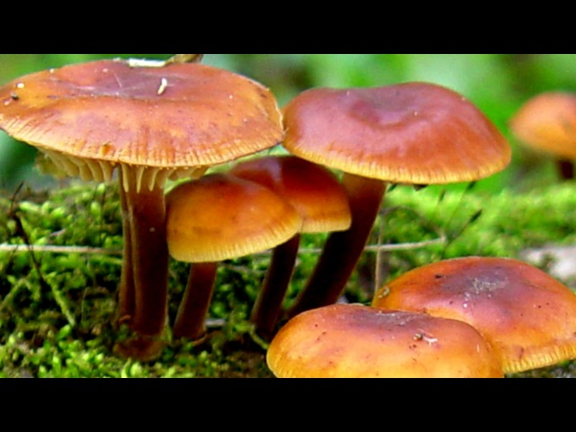 Эноки фламмулина зимний опёнок экстракт гриба в лечение рака