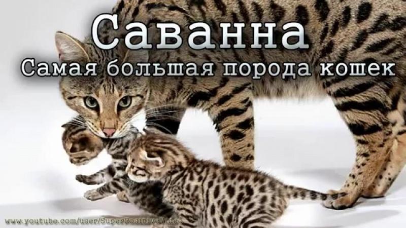 Саванна самая большая порода кошек в мире. Savannah cat-poroda--koshek--spian--scscscrp