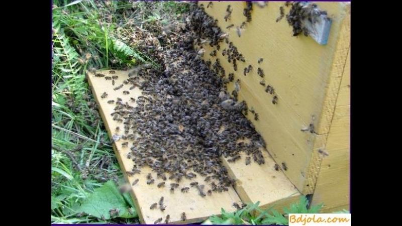 Облет молодой пчелы в среднерусских семьях