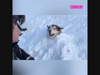 Зимние забавы у маламута.