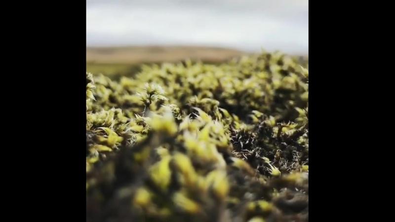 Мох на лавовом поле в Исландии