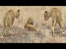 Leopard Tries to Escape Pride of Lions