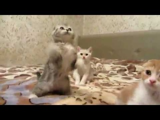 Красивые Шотландские котята. Beautiful Scottish kittens.
