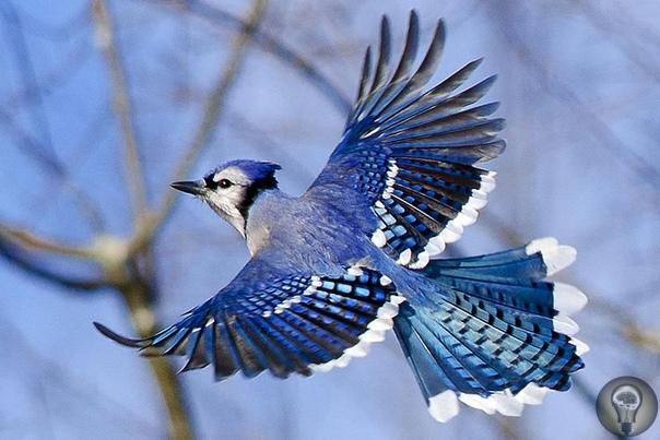 ГОЛУБАЯ КУСТАРНИКОВАЯ СОЙКА ЖИВЕТ ТОЛЬКО В ШТАТЕ ФЛОРИДА, США! Голубая кустарниковая сойка - птица семейства врановых.Длина тела у голубой кустарниковой сойки достигает 28-30 см. Весит эта