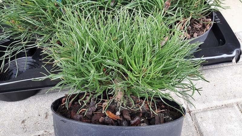 Сосны 'Pinus mugo pumilio'