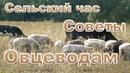Как пасти стадо на селе Советы по породе овец овцеводам Сельский час в жизни села