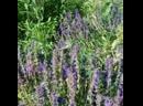 Пчелы пасеки Дом Альвы собирают вересковый мёд