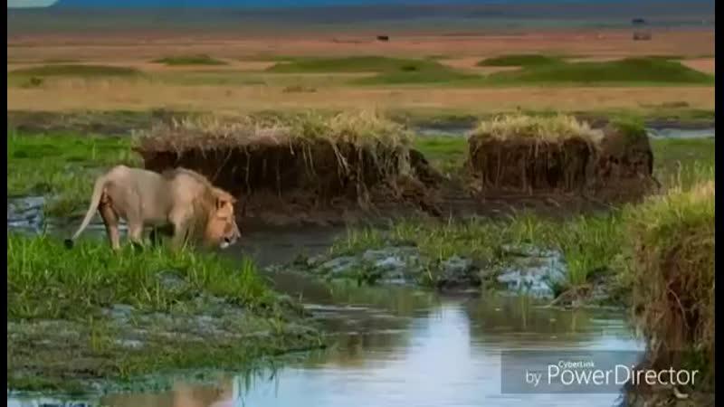 львы,это сила,и братство)