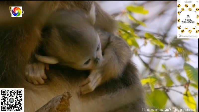Затерянные царства Китая Лес золотистых обезьян 12