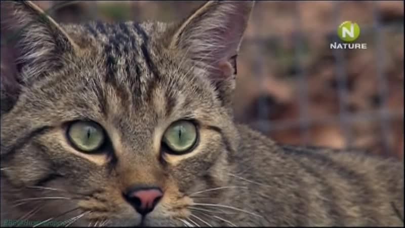 Дикие кошки в лесах Германии Документальный природа животные 2008