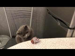 Британская кошка hilda plush blue ray.