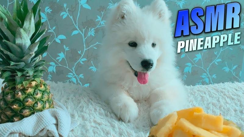 СОБАКА САМОЕД ПРОБУЕТ АНАНАС | ASMR | Relax | Puppy Samoyed Tries Pineapple