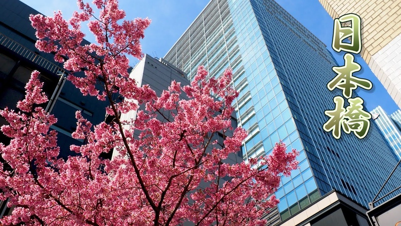 "TOKYO Cherry blossoms Okame zakura""of Nihombashi 日本橋 #おかめ桜 4K"